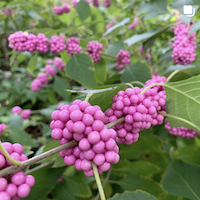 Pink American Beautyberry fall colors