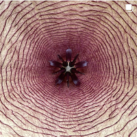 carrion flower Stapelia gigantea