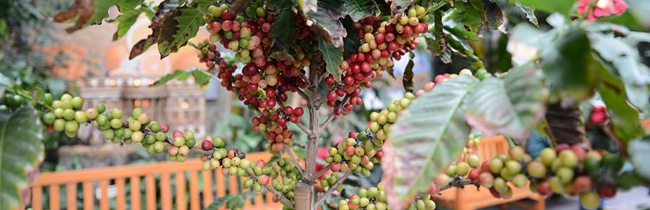 Red and green coffee fruits along the plant's stems